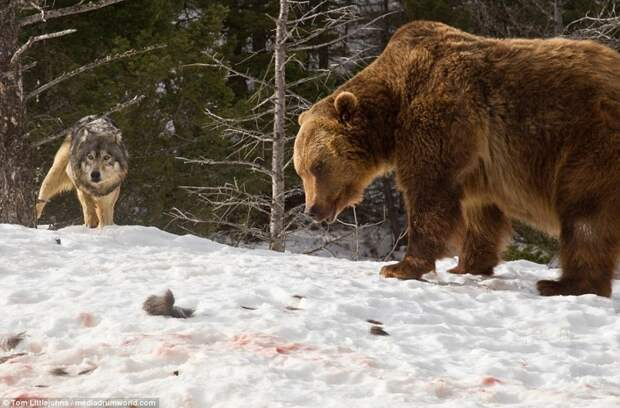 Медведь вступил в кровавую схватку со стаей волков ради туши оленя волк, животные, медведь, схватка