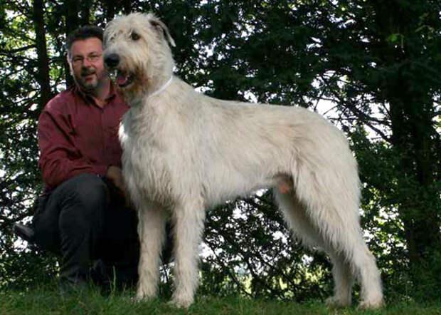 Ирландский волкодав - большая собака из Ирландии