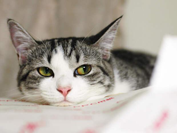 grey Как кошки манипулируют человеком