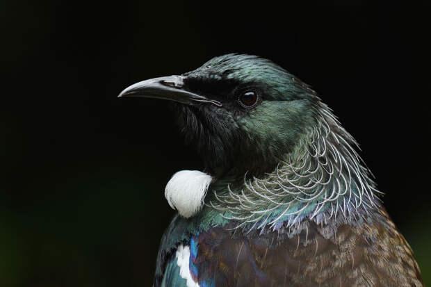 Новозеландский туи