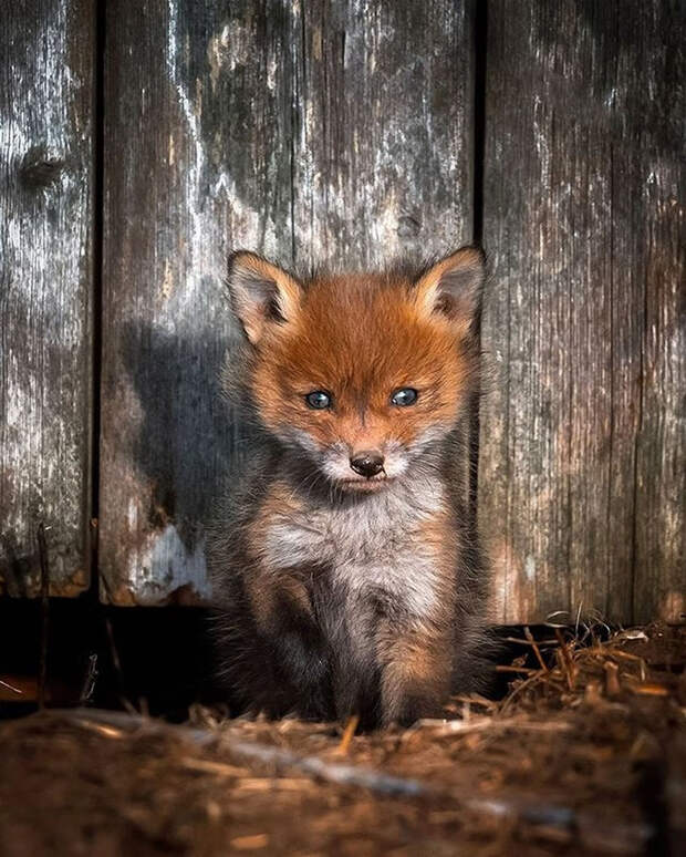 ossi-saarinen-baby-fox-photography-7