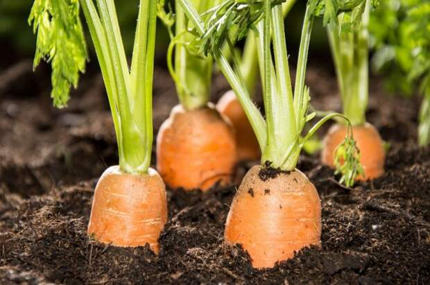 Всё о выращивании моркови