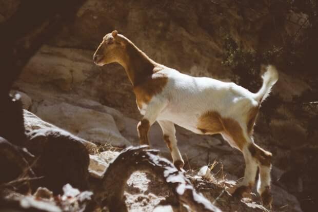 Некоторые породы могут прыгать выше своего роста. Артистизм помогает козам выпрашивать лакомства, делая жалобный взгляд и, замерев, гипнотизировать человека.