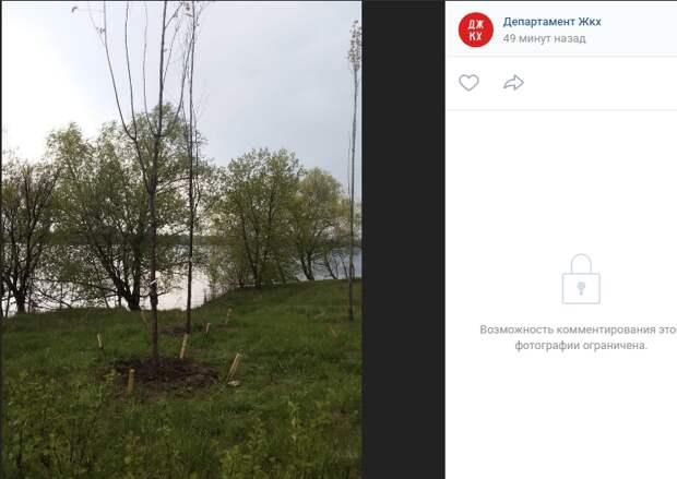 Вырванное с корнем дерево на берегу Строгинской поймы «воскресили»