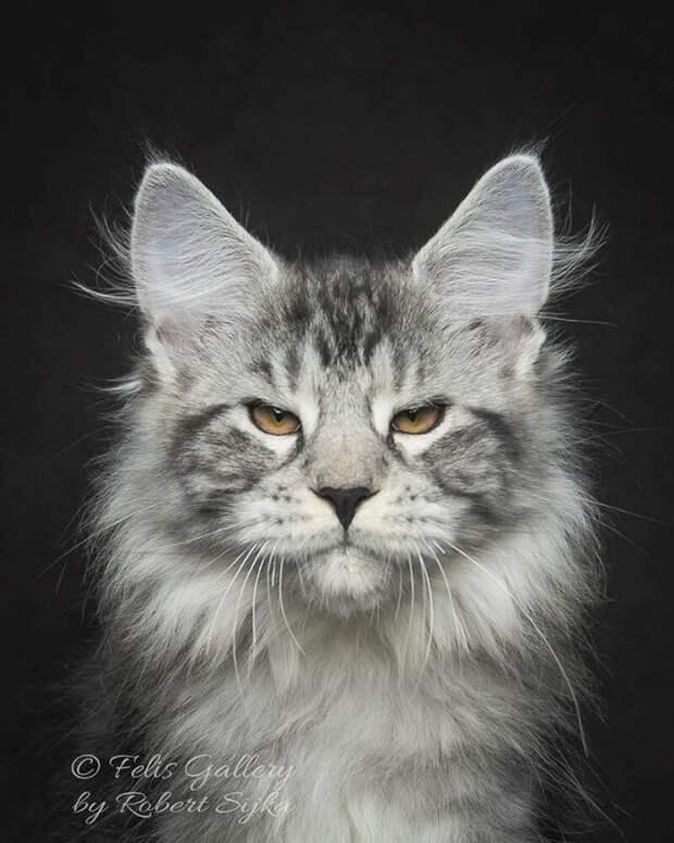 Магическая красота: фотограф делает завораживающие портреты мейн-кунов Мейн Куны, животные, коты, кошки, красивые животные, мейн-кун, фото, фотограф
