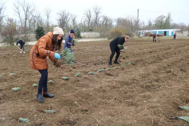 В Крымских селах  высадят 6 тысяч саженцев лаванды