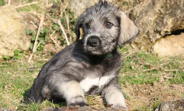 Женщина взяла домой небольшого щенка, а через год он вырос больше человека и продолжает расти