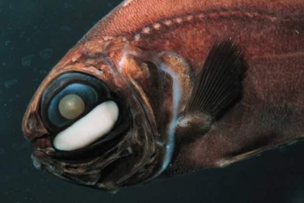 Фонареглазовые рыбы – зачем им такое необычное украшение?