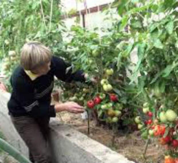 Как обрезать помидоры в теплице — советы огородникам