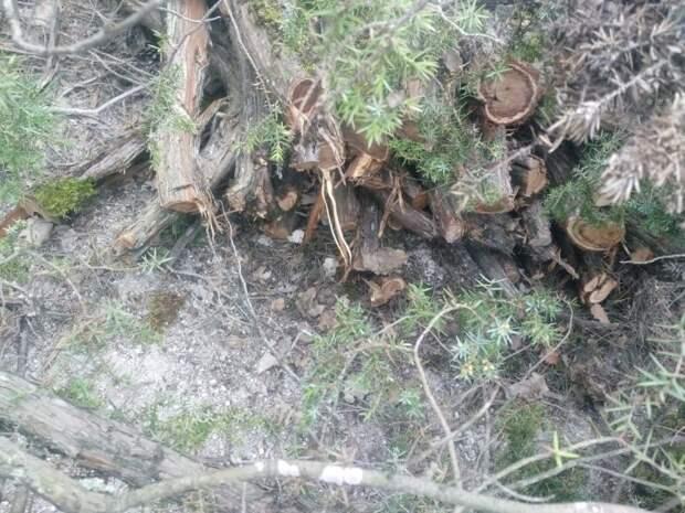 В Крыму двое мужчин спилили более 10 деревьев можжевельника