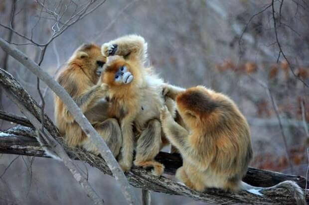 курносые обезьяны