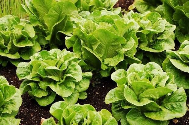 Знакомьтесь: римский салат