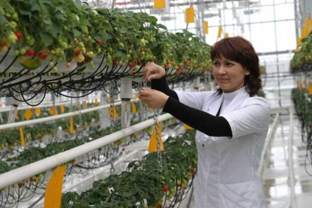 Как опылять клубнику в теплице: тонкости выращивания!