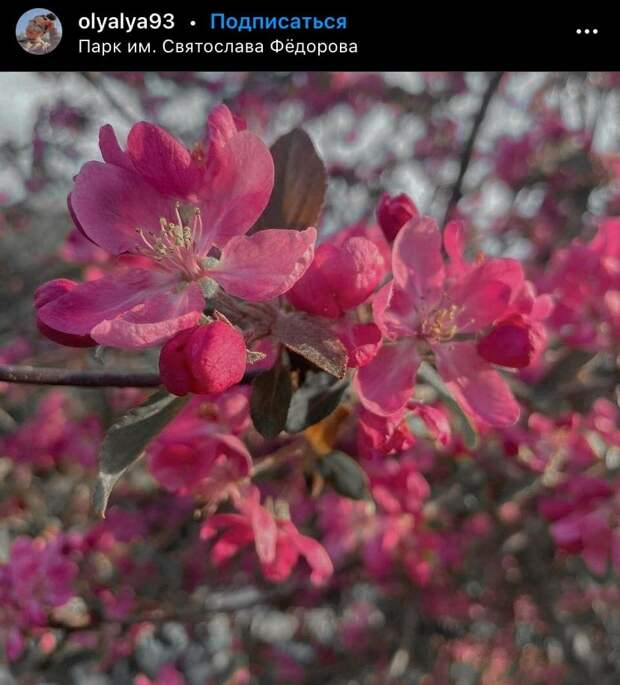 Фото дня: цветение ранетки в парке имени Федорова
