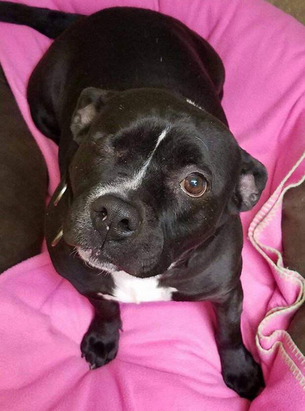 В 2013 году Скарлетт отдал в приют бывший владелец, так как не мог оплачивать ее лечение питбуль, собака - друг человека, собака - инвалид, спасение животных