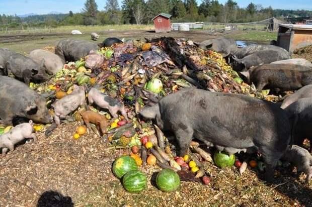 20. Чтобы скормить отбросы свиньям в штате Аризона, необходимо получить специальное разрешение. абсурдные законы, законы сша, сша
