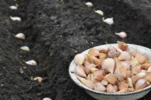 Как правильно посадить чеснок весной