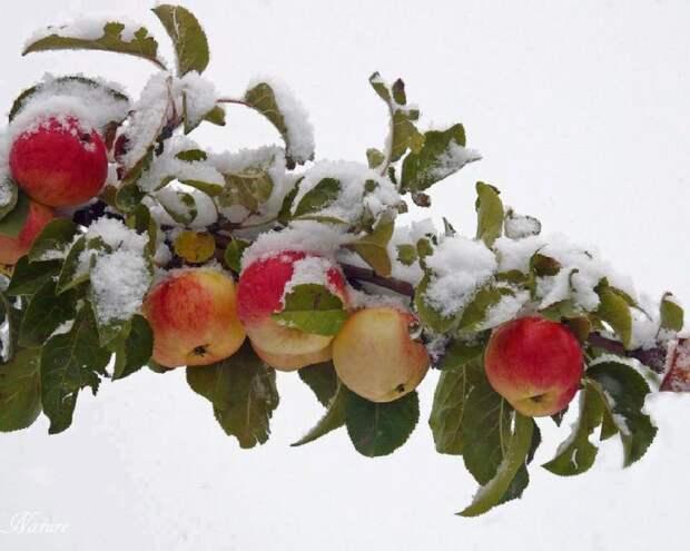 Повышаем морозостойкость деревьев