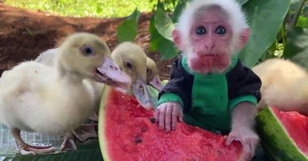 Сочный сладкий арбуз для маленькой обезьянки и ее друзей
