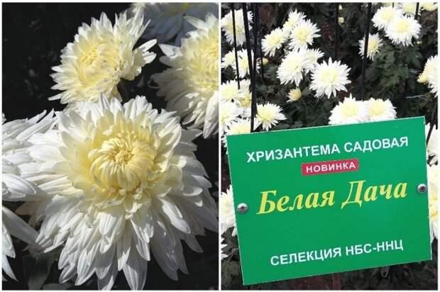 Участница крымского Бала хризантем получила название в честь дачи Чехова