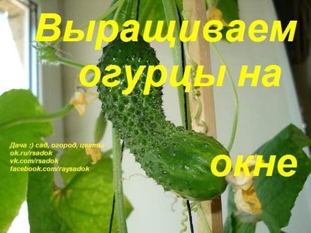 Выращиваем огурцы на окне