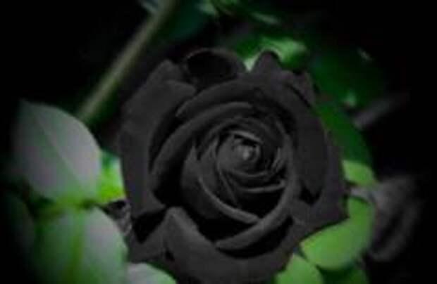Редкие черные розы зацвели в Турции