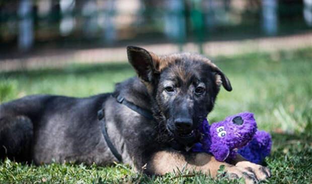 Первая в Китае клонированная полицейская собака Куньсун родилась в декабре прошлого года. /Фото:news.cn