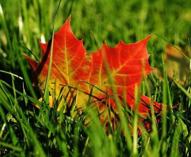 Кленовые Листья для Лечения Суставов...и не только...