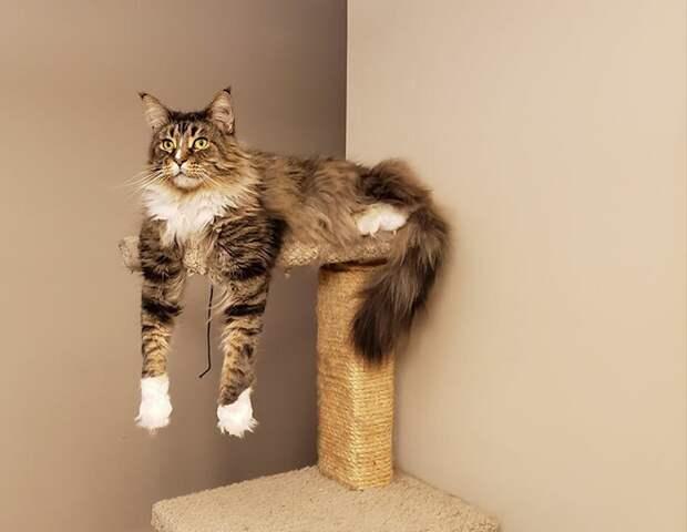 Оригинал домашние животные, животные, забавно, кошки, мило, мэйкуны, очаровательно, смешно