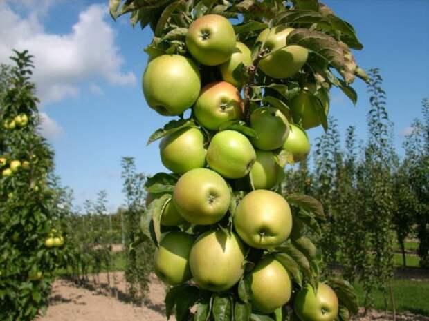 Колоновидная яблоня.