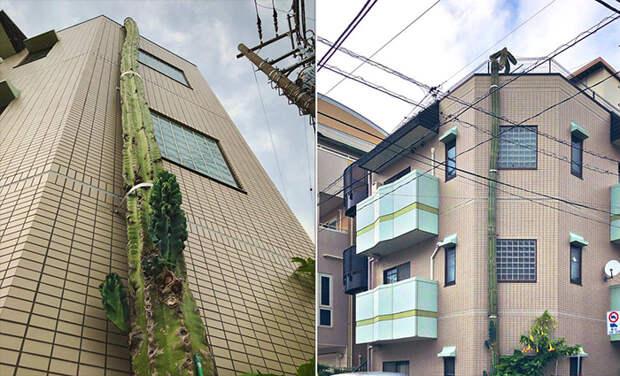 Японский кактус вырос выше дома и стал телезвездой