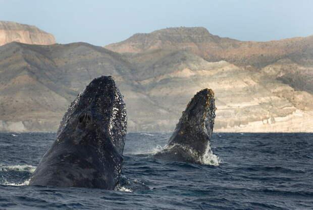 Самец и самка горбатого кита: основные отличия