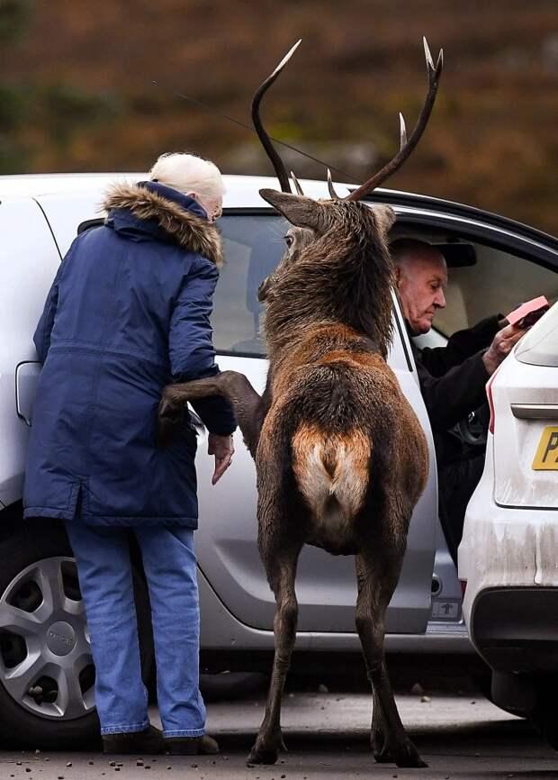 Олень-джентльмен: как рогатый красавец помог пожилой даме сесть вавтомобиль