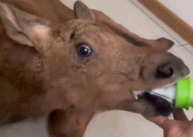 В Приамурье браконьеры подстрелили лосенка