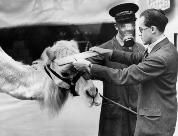 Camel being measured for a gas mask