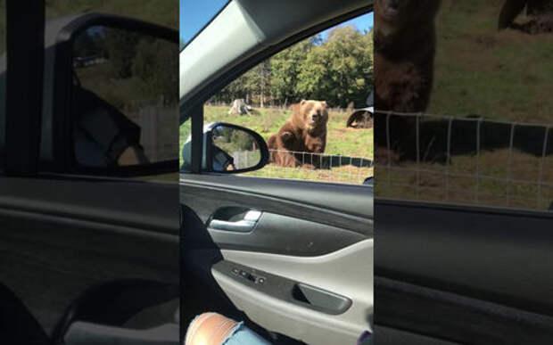 Медведь улыбнулся пассажирам машины и помахал лапой