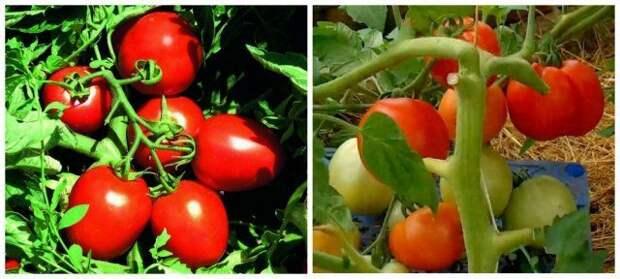 Ультраскороспелый сорт томатов Детская сладость