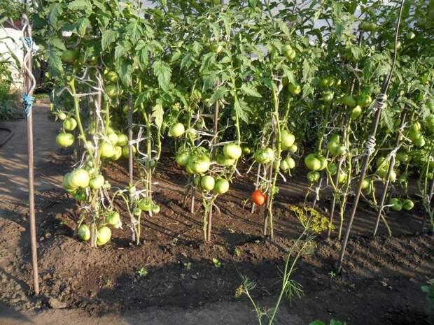Агротехника выращивания томатов в теплице и открытом грунте