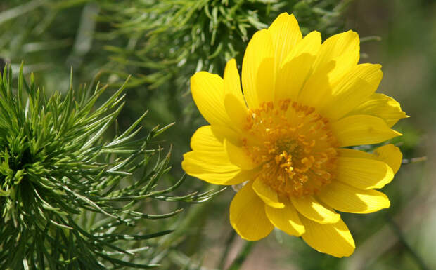 Многолетний садовый цветок Адонис (Adonis)