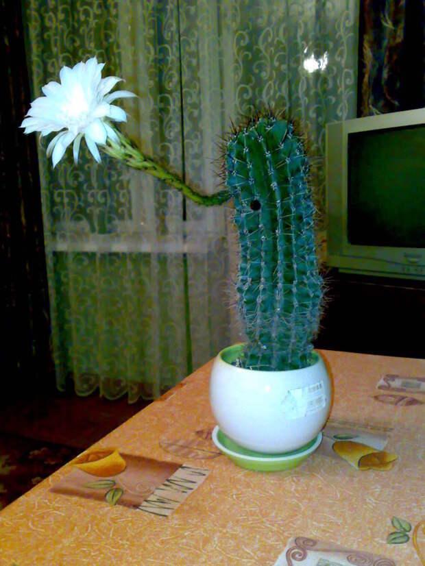 А вечером я заметила, что распустился цветок :) Цветение, кактус, растение в горшке, цветок