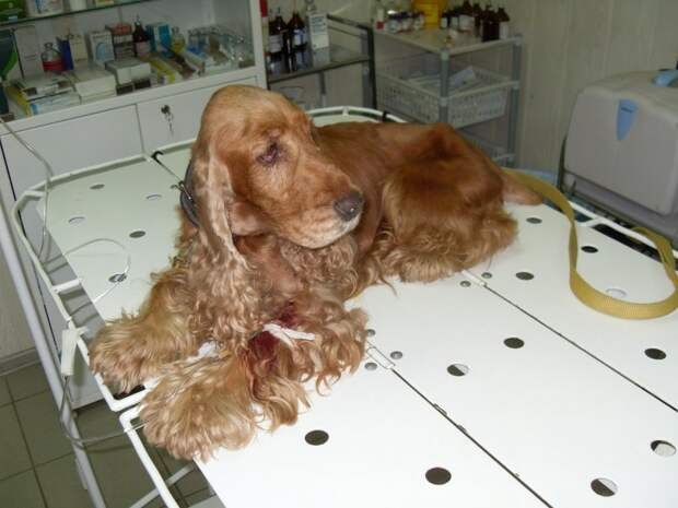 Хозяева отказались от этого спаниеля только потому, что он стал старым коккер-спаниель, собака, спаниель