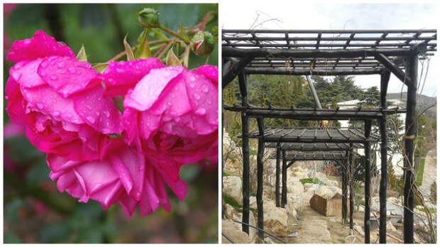 Роза Кордеса сорт Ореанда, пергола для таких роз, фото автора