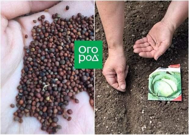 Посев семян капусты в открытый грунт