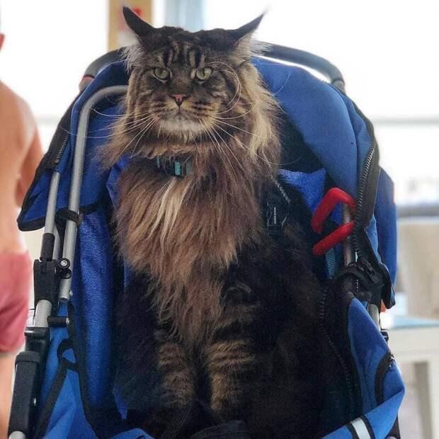 А ещё Баривель любит кататься в детской коляске. Да, он довольно-таки ленивый котик длина, домашний питомец, животные, кот, красавчик, милота, рекорд гиннесса