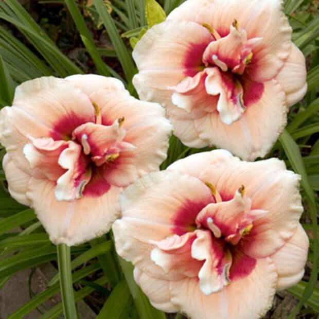 Новые сорта лилейников для вашего сада (10 сортов)