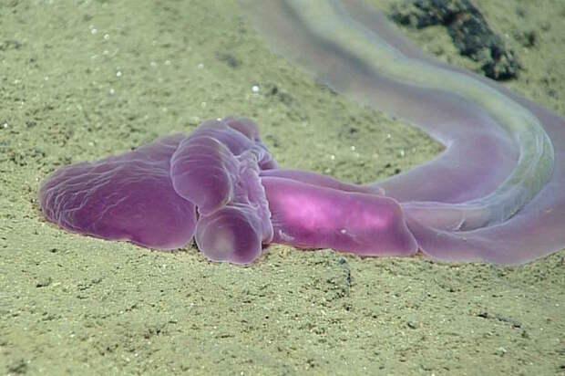 Новые загадочные существа со дна Марианской впадины животные, интересно знать, океан, факты