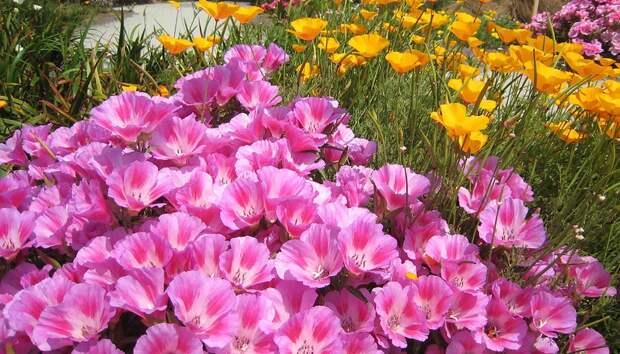 Обои Красивые цветы кларкия (годеция) на поляне - скачать обои для рабочего стола, картинки, фото