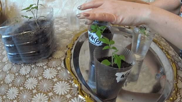 Китайский способ выращивания рассады томатов. Неожиданно, но результативно