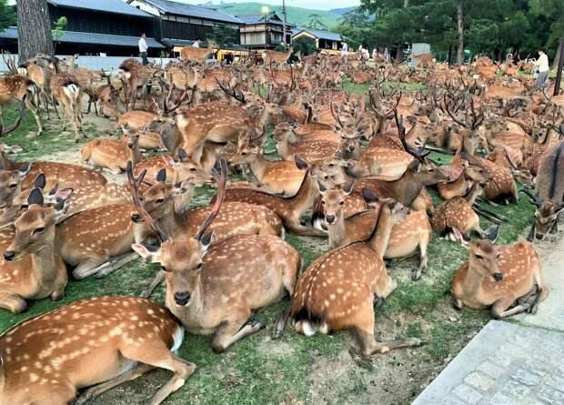 Пятнистый олень: Настолько хорошо адаптируется к любым экосистемам, что отобрал у японцев целый город