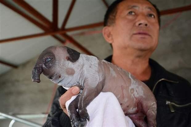 В Китае родился поросенок без рта, но с хоботом